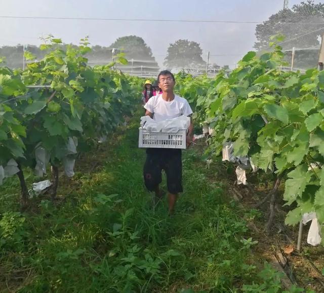 禹州鸿畅小哥给大家免费送葡萄了,大人小孩都可以领快来看看!