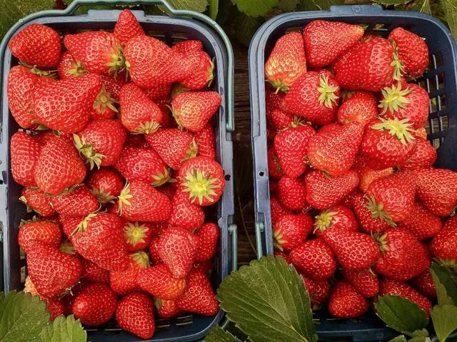 搞事变!平顶山周边嵖岈山狂送草莓!连唐僧师徒都被吸收来了……插图5