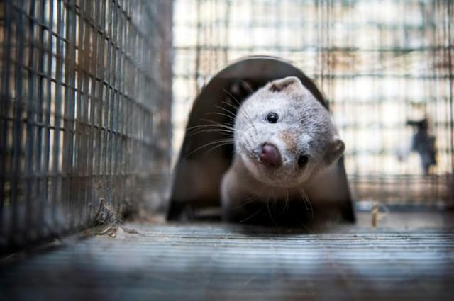 西班牙一农场8成水貂感染新冠病毒,近10万只将被宰杀