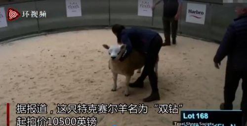世界上最贵的羊332万元成交怎么回事?世界上最贵的羊是什么羊www.smxdc.net