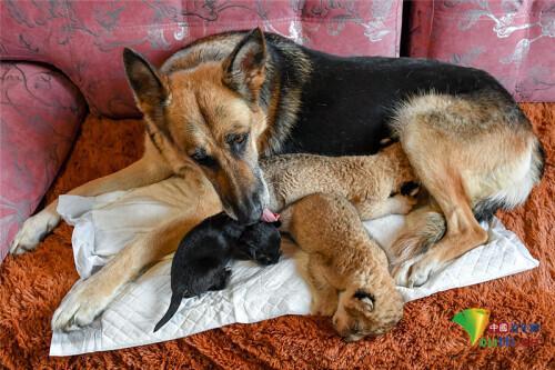 """牧羊犬给两只幼狮当""""妈妈""""暖心看护超有爱-第3张"""