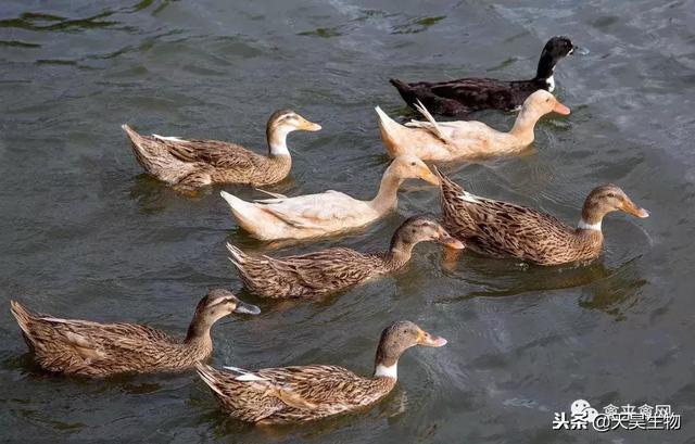养鸭十年总结十条养鸭经验,很实在