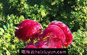 [09-10-17] – Fungus巨大的红色真菌C4D动画工程文件分享